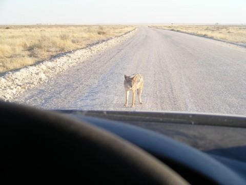 Wolf, äh Golf gegen Schakal - es folgte eine friedliche Einigung
